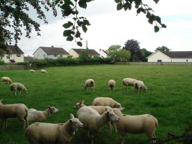 c-sheep-glebe4-2