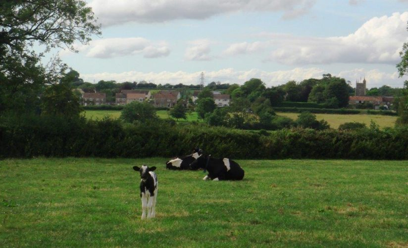 cows-2-ca-from-cl12-6-dsc00078-juneva-2